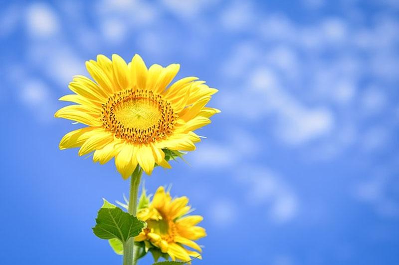 Loài hoa này tượng trưng cho hy vọng, may mắn