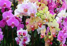 hoa may mắn